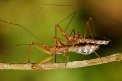 Assassing bug mating macro Stock Photography