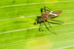 Assassino Bug Fotografia de Stock