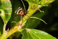 Assassino Bug Imagens de Stock Royalty Free