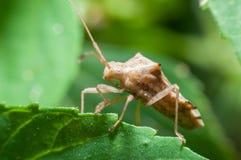 Assassino Bug Fotografia Stock Libera da Diritti