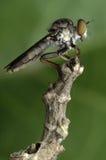 Assassino do inseto que come a formiga vermelha Imagem de Stock Royalty Free