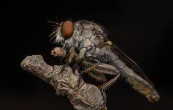 Assassino do inseto que come a formiga vermelha Imagens de Stock
