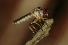 Assassino Fly Fotografia Stock Libera da Diritti
