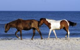 assateague通配马的海岛 库存图片