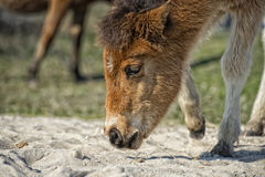 Assateague horse baby young puppy wild pony Stock Photo