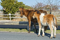 Assateague horse baby young puppy wild pony Royalty Free Stock Photos