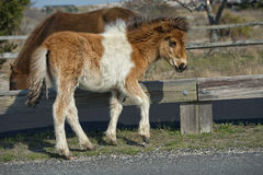 Assateague horse baby young puppy wild pony Royalty Free Stock Image