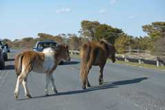 Assateague horse wild pony mother and puppy Royalty Free Stock Images