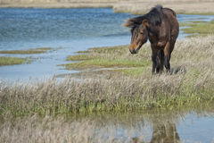 Assateague horse wild pony Stock Photos
