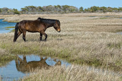 Assateague horse wild pony Royalty Free Stock Photos