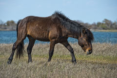 Assateague horse wild pony Royalty Free Stock Photography