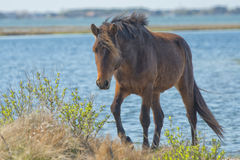 Assateague horse wild pony Stock Photo