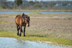 Assateague horse wild pony Stock Images