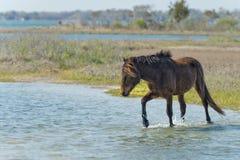 Assateague horse wild pony Stock Photography