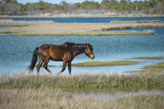 Assateague horse wild pony Stock Photography