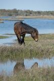 Assateague horse wild pony Royalty Free Stock Photos