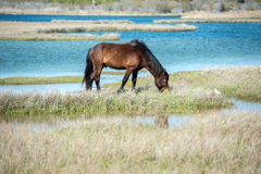 Assateague horse wild pony Royalty Free Stock Image