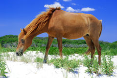 Assateague Island Horse Royalty Free Stock Photography