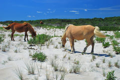 Assateague Island Horses Stock Photos