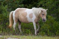 Assateague lös ponny Royaltyfri Foto