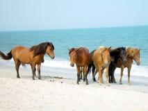 Assateague Ponies Stock Image