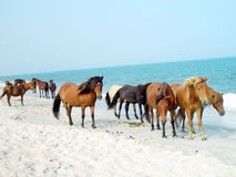 Assateague Ponies. Wild ponies on Assateague Island, Maryland Royalty Free Stock Photo