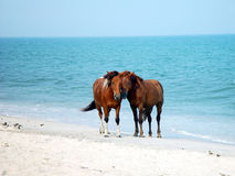 Assateague Ponies royalty free stock photography