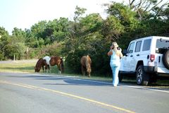 Assateague Tourist taking Photos of Wild Horse stock photo