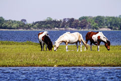 Assateague wild hästar Arkivbild