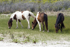 Assateague wild hästar Royaltyfria Bilder