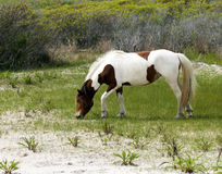 Assateague Wild Horse mare royalty free stock photo