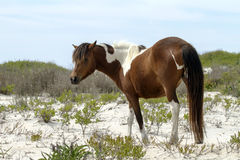 Assateague Wild Horse Mare Royalty Free Stock Image