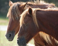 Assateague Wild Ponies. Feral ponies doze in the sun on Assateague Island national seashore in Maryland Stock Photo