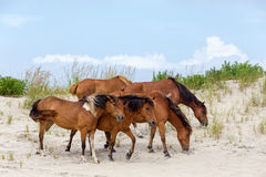 Assateague Wild Ponies on the Beach. A group of wild ponies, horses, of Assateague Island on the beach in Maryland, USA. These animals are also known as Royalty Free Stock Image