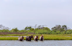 Assateague Wild Ponies Crossing Bay. Four wild ponies of Assateague Island, Maryland, USA crossing the water of the bay. These animals are also known as Royalty Free Stock Images