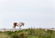 Assateague Wild Pony on the Beach Stock Image