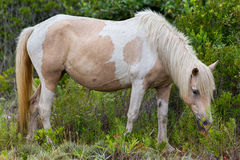 Assateague Wild Pony Stock Image