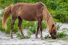 Assateague Wild Pony Stock Photos