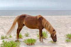 Assateague Wild Pony Royalty Free Stock Photo