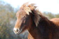 Assateague Wild Pony Portrait Stock Photos