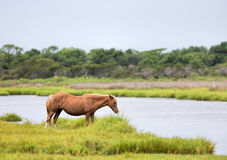 Assateague Wilde Poney Royalty-vrije Stock Fotografie