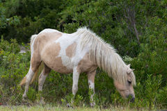 Assateague Wilde Poney Stock Afbeeldingen