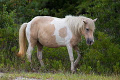 Assateague Wilde Poney Royalty-vrije Stock Foto