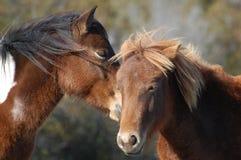 Assateague wilde Ponys Stockfoto