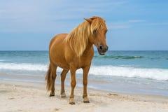 Assateagueeiland Wildhorses Stock Afbeelding