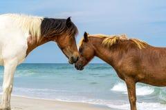 Assateagueeiland Wildhorses Royalty-vrije Stock Afbeeldingen