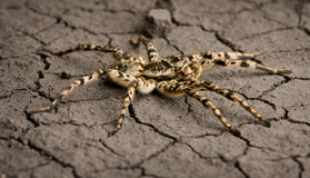 Assault tarantula on desert surface Stock Photography