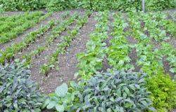 Assegnazione organica e dell'erba dell'orto con verdura frondosa Fotografia Stock Libera da Diritti