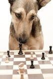 Assegno! Giocando gli scacchi gradica un cane Immagini Stock Libere da Diritti