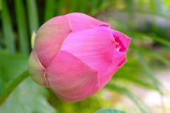Assemblée plénière fraîche de Roseum ou double lotus rouge photo libre de droits